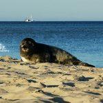 Mała foczka - duża plaża, wiosna, hel